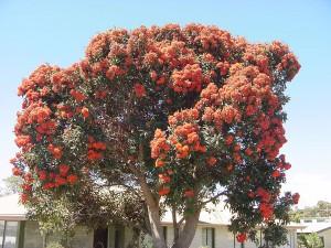 Flowering Gum- Bridport's signature Eucalypt