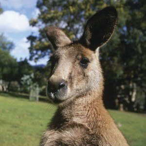 Forester or The Eastern Grey Kangaroo