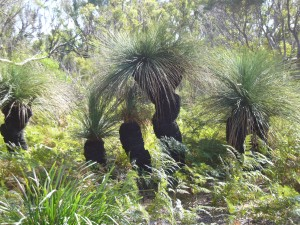 Xanthorrhoea or Grass Tree Granite Point Nature Reserve