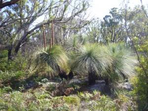 Xanthorrhoea Bridport Wildflower Reserve is part of Granite Point Conservation Area