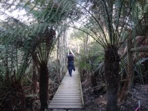 Dicksonia antarctica, Bridport Walking Track