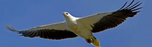 White-bellied Sea Eagle