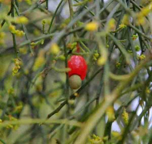 Native Cherry