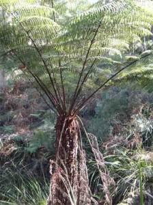 Spiky tree Fern