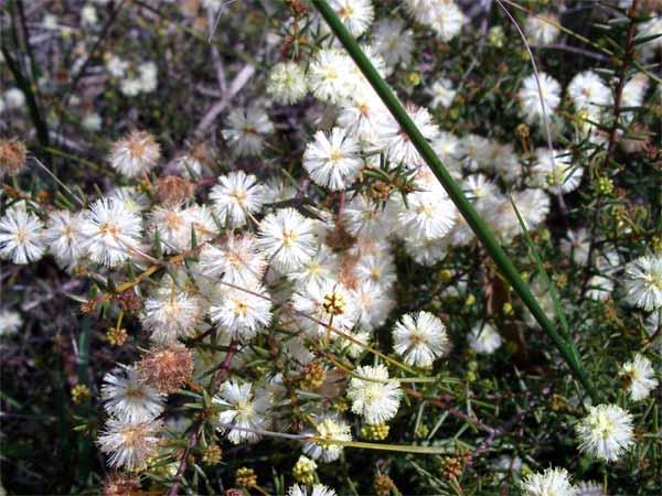 Acacia ulicifolia - juniper wattle