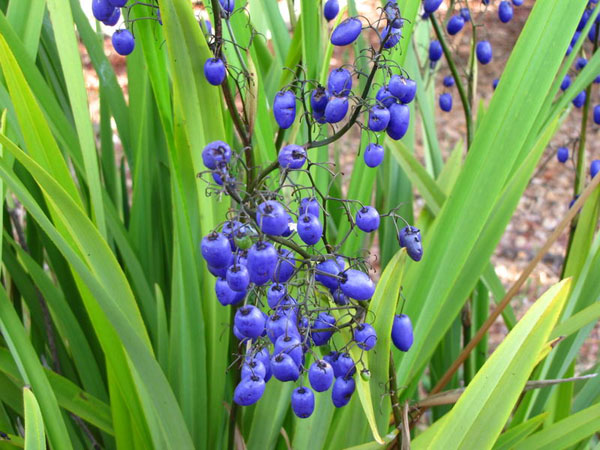 Dianella tasmanica - Blue berry
