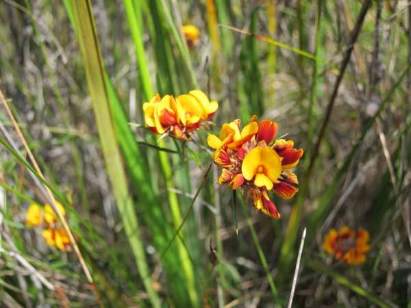 Pultenaea sericea - chaffy bush pea