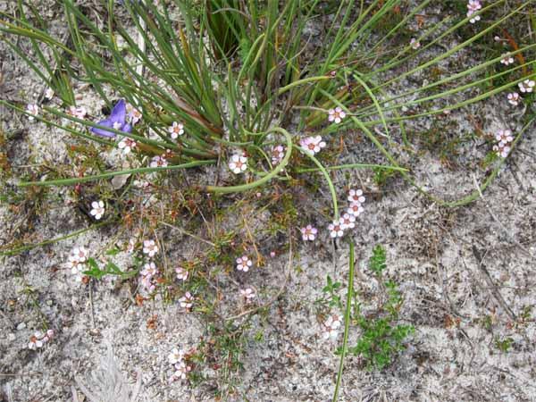Baeckea ramosissima - rosy heath myrtle