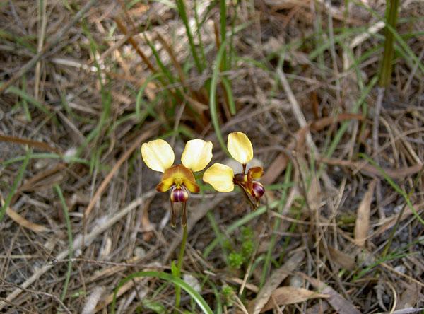 Diuris orientis - eastern wallflower orchid