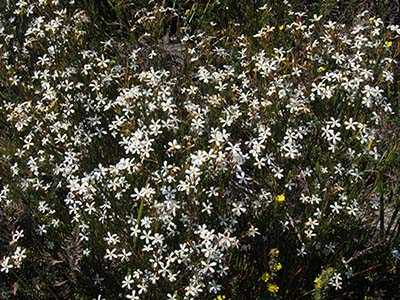Ricinocarpos pinifolius  - wedding bush