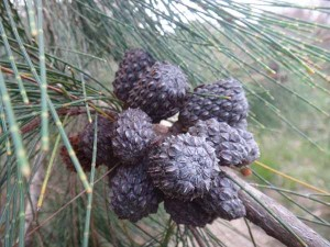 Sheoak nut