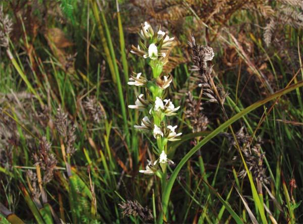 Prasophyllum apoxychilum - Tapered-leek-Orchid