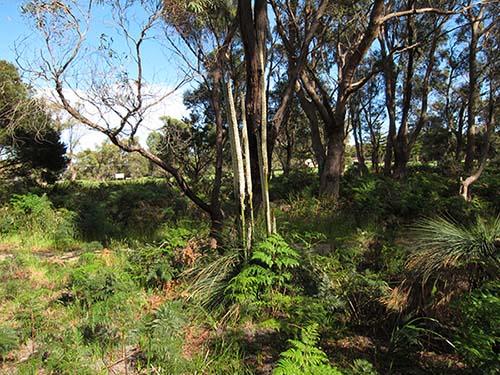 Xanthorrhoea. australis  - grass tree