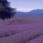 Bridestowe Estate Lavender Farm