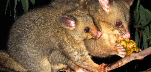 The Brush-tail Possum