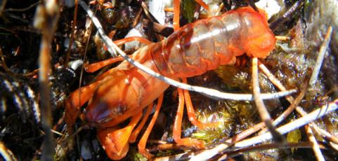 Burrowing Crayfish