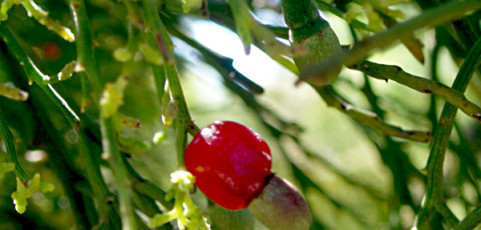 Native Cherry