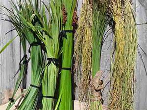 Plant fibres for basket making