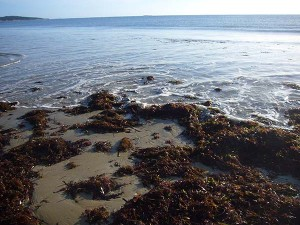 Seaweed at Adams Beach