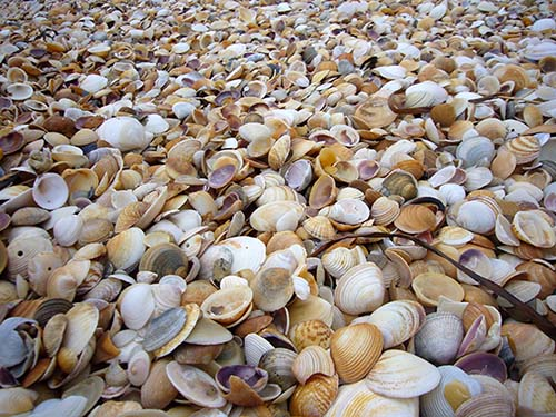 Shells on Barnbougle Beach