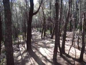 Sheoak Forest