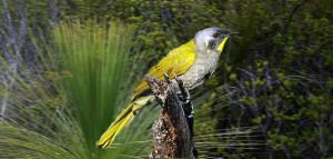 Yellow Throated Honeyeater