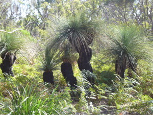 Xanthorrhoea or Grass Tree